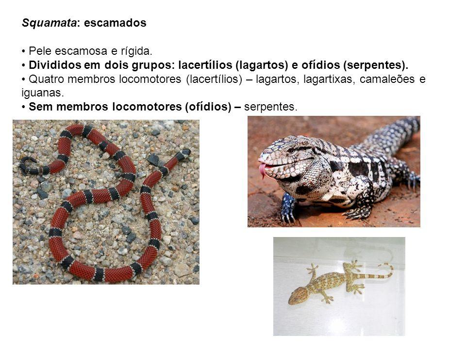 Squamata: escamados Pele escamosa e rígida. Divididos em dois grupos: lacertílios (lagartos) e ofídios (serpentes).