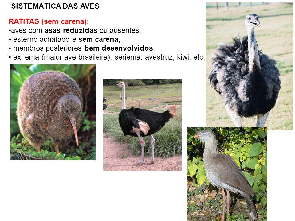 SISTEMÁTICA DAS AVES RATITAS (sem carena): aves com asas reduzidas ou ausentes; esterno achatado e sem carena;