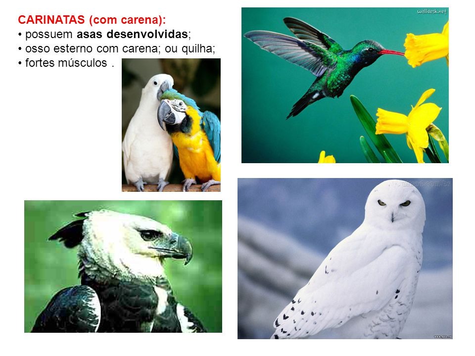 CARINATAS (com carena):