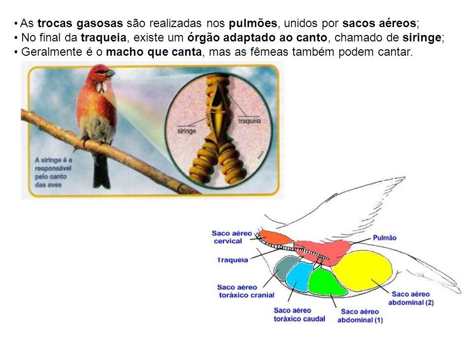 As trocas gasosas são realizadas nos pulmões, unidos por sacos aéreos;