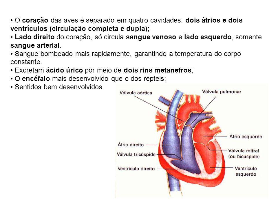 O coração das aves é separado em quatro cavidades: dois átrios e dois ventrículos (circulação completa e dupla);
