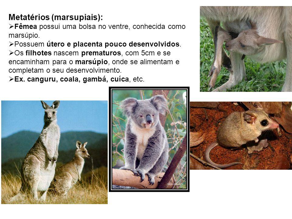 Metatérios (marsupiais):