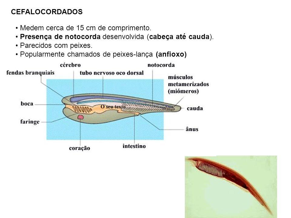 CEFALOCORDADOS Medem cerca de 15 cm de comprimento. Presença de notocorda desenvolvida (cabeça até cauda).