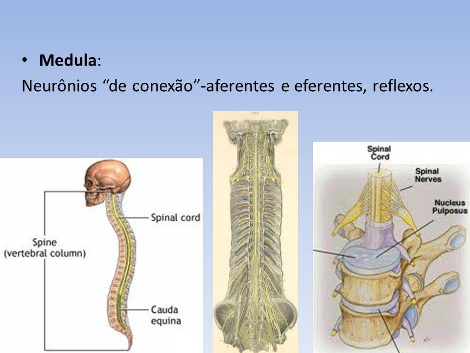 Medula: Neurônios de conexão -aferentes e eferentes, reflexos.