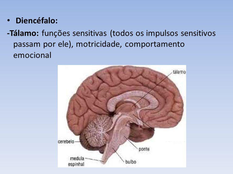 Diencéfalo: -Tálamo: funções sensitivas (todos os impulsos sensitivos passam por ele), motricidade, comportamento emocional.