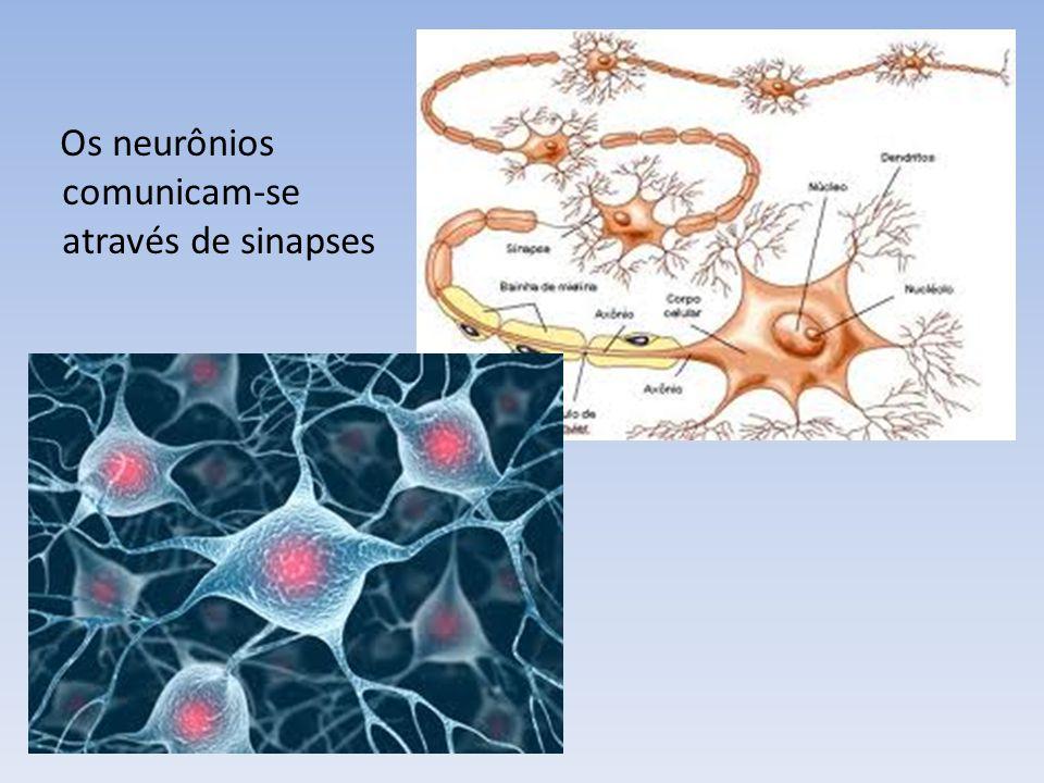 Os neurônios comunicam-se através de sinapses