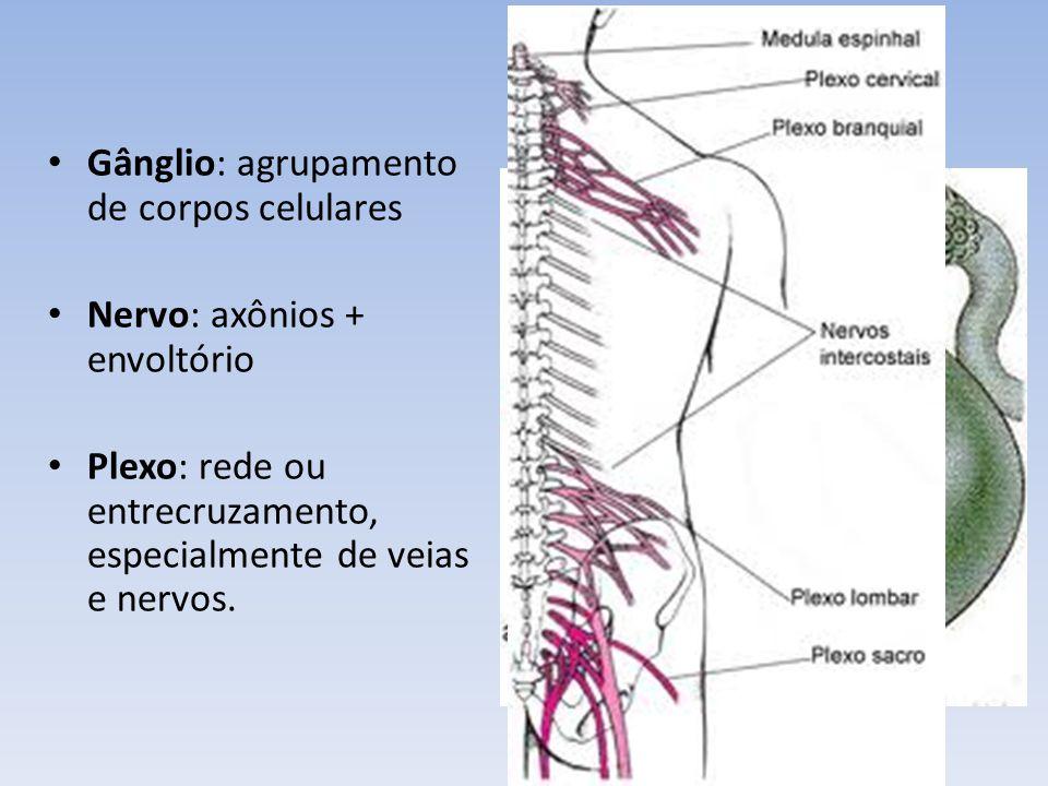 Gânglio: agrupamento de corpos celulares