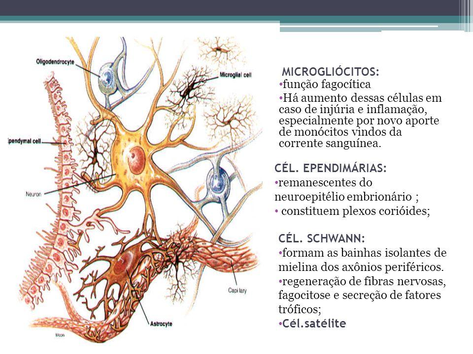 MICROGLIÓCITOS: função fagocítica.