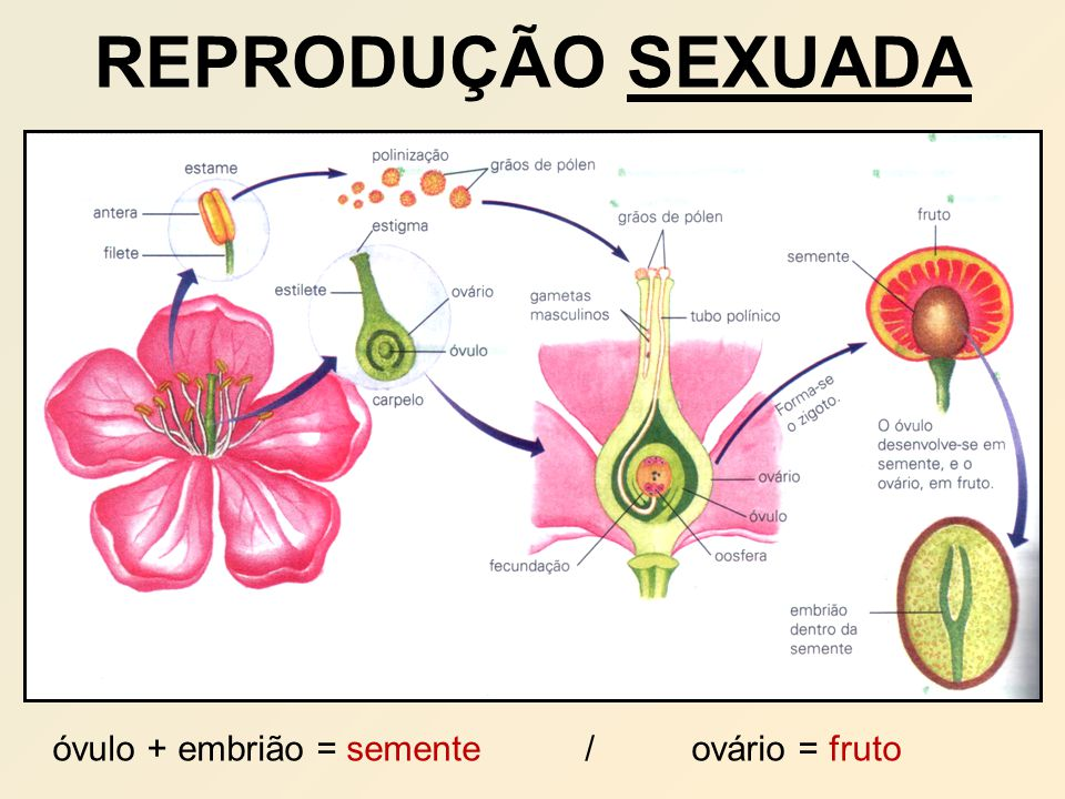 óvulo + embrião = semente / ovário = fruto