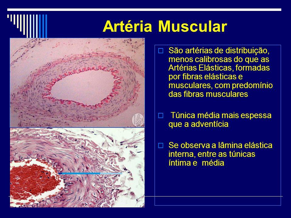 Artéria Muscular