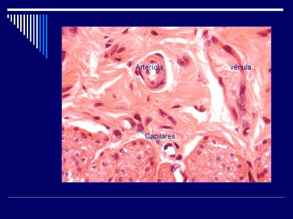 Arteríola vênula Capilares