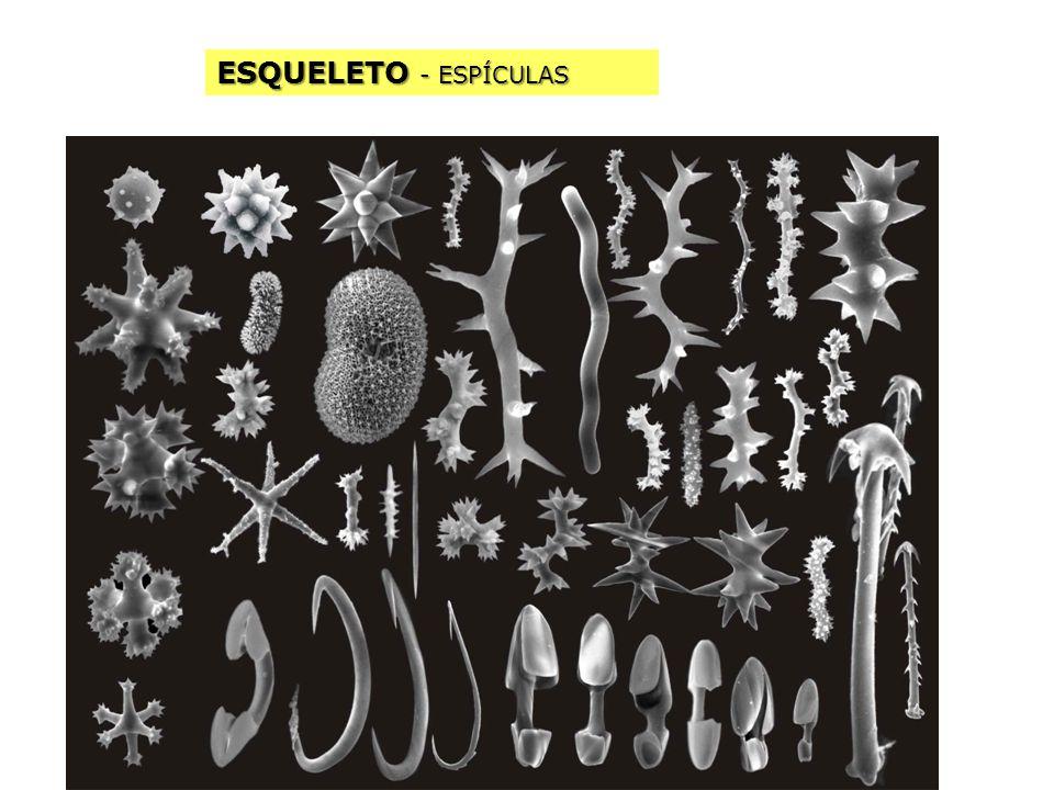 ESQUELETO - ESPÍCULAS