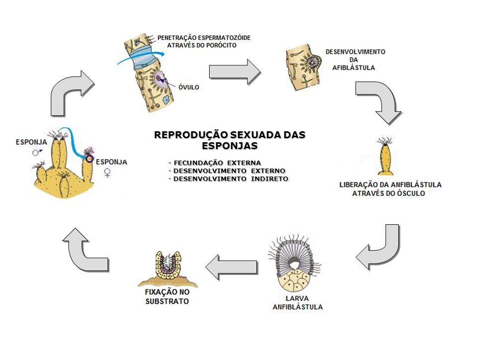 REPRODUÇÃO SEXUADA DAS ESPONJAS