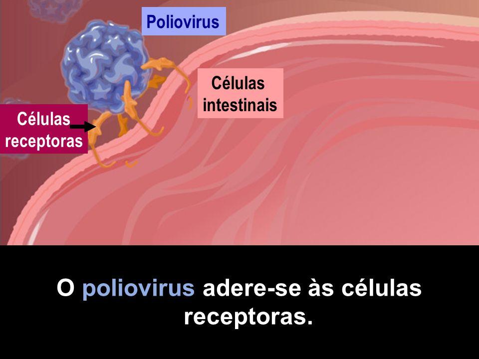O poliovirus adere-se às células receptoras.