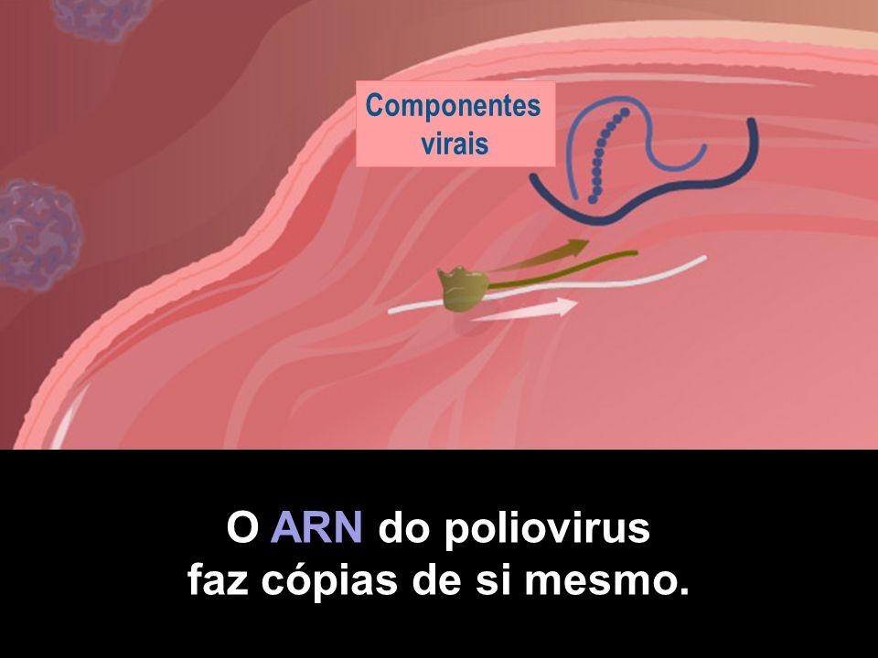 O ARN do poliovirus faz cópias de si mesmo.