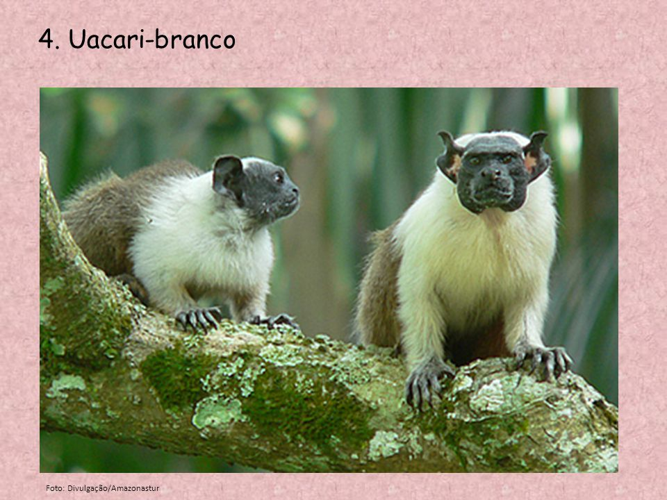 4. Uacari-branco Foto: Divulgação/Amazonastur