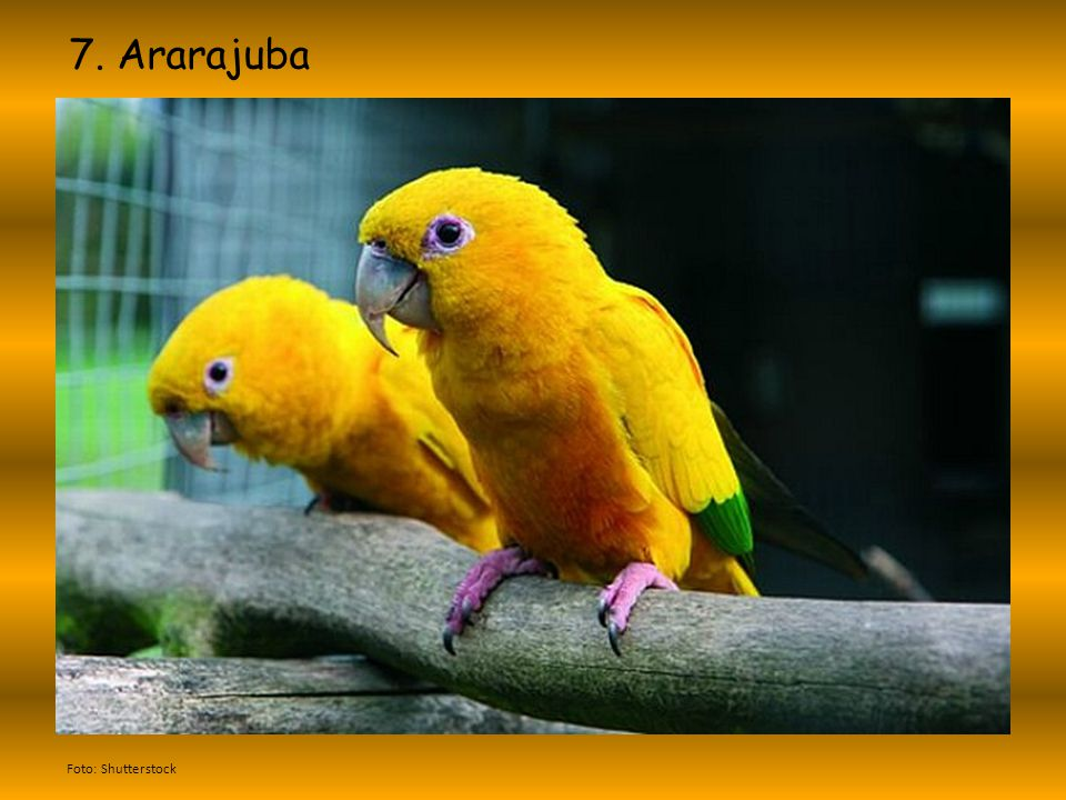 7. Ararajuba Foto: Shutterstock