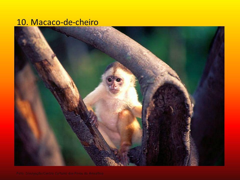 10. Macaco-de-cheiro Foto: Divulgação/Centro Cultural dos Povos da Amazônia