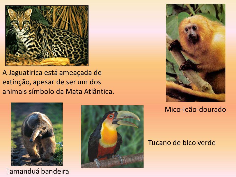 Mico-leão-dourado A Jaguatirica está ameaçada de extinção, apesar de ser um dos animais símbolo da Mata Atlântica.