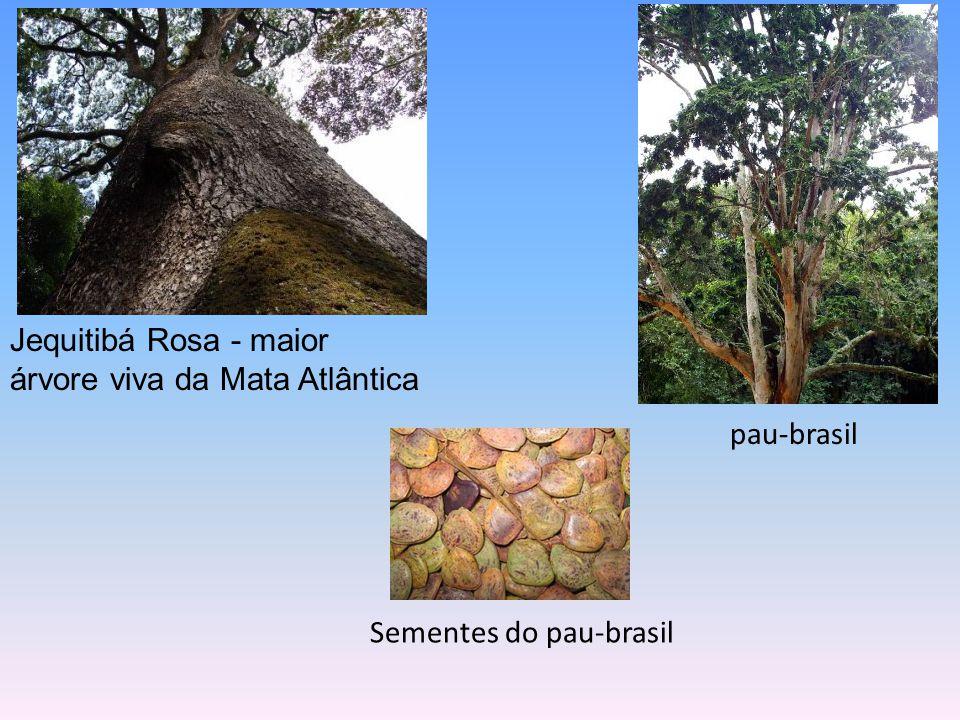 Jequitibá Rosa - maior árvore viva da Mata Atlântica