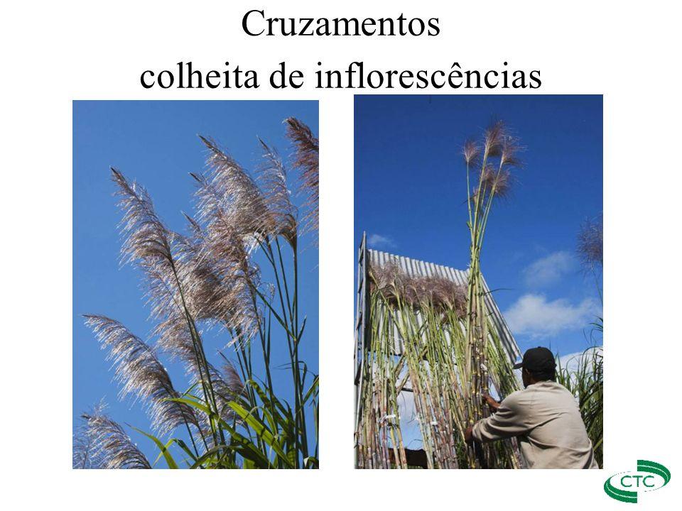 Cruzamentos colheita de inflorescências