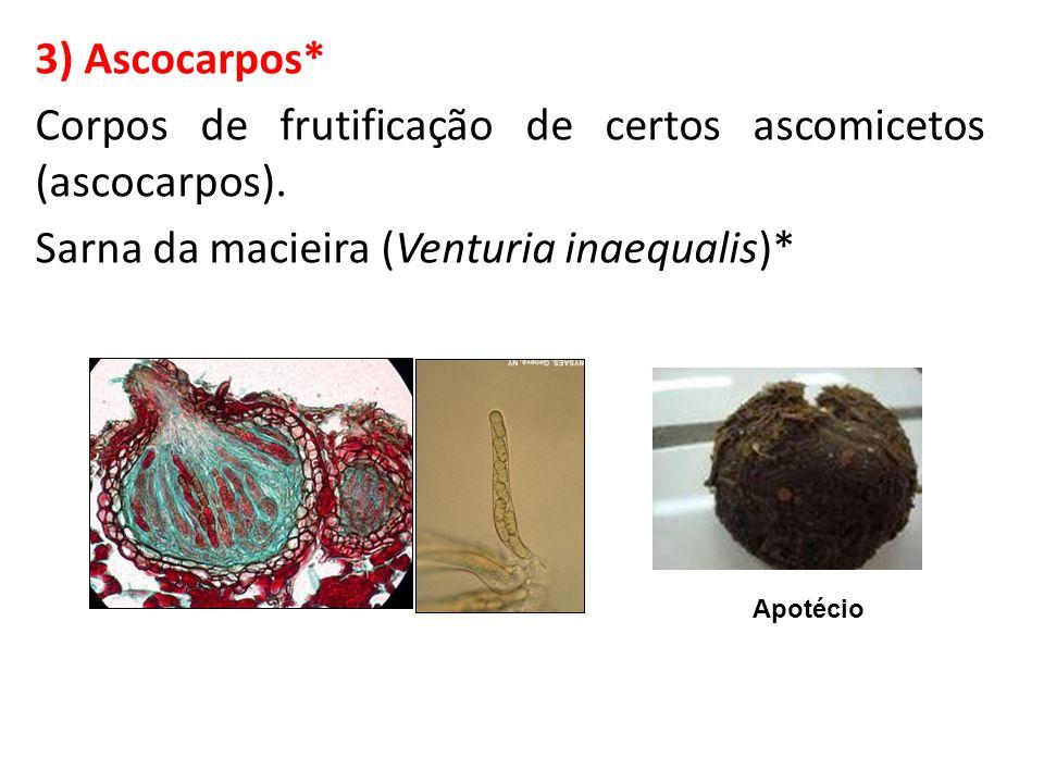 Corpos de frutificação de certos ascomicetos (ascocarpos).