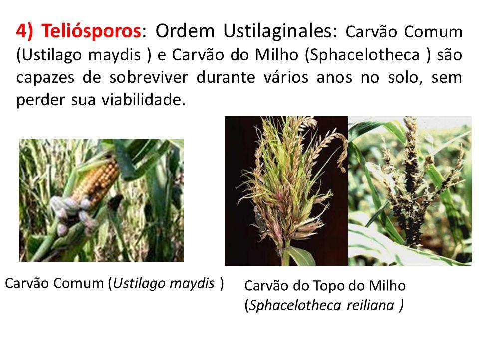 4) Teliósporos: Ordem Ustilaginales: Carvão Comum (Ustilago maydis ) e Carvão do Milho (Sphacelotheca ) são capazes de sobreviver durante vários anos no solo, sem perder sua viabilidade.