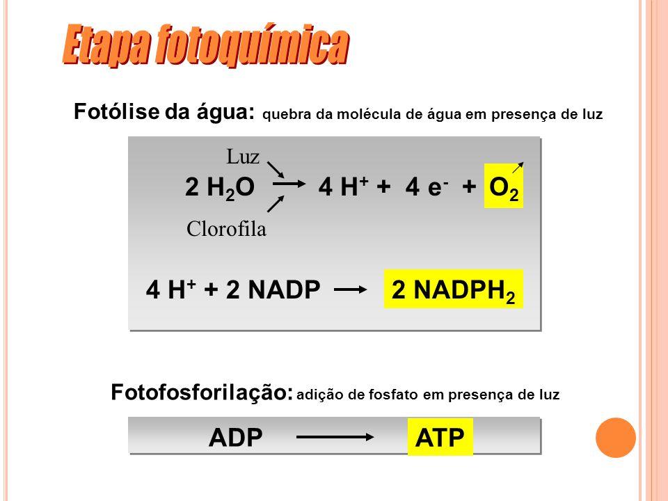 Etapa fotoquímica O2 2 H2O 4 H+ + 4 e- + 4 H+ + 2 NADP 2 NADPH2 ADP