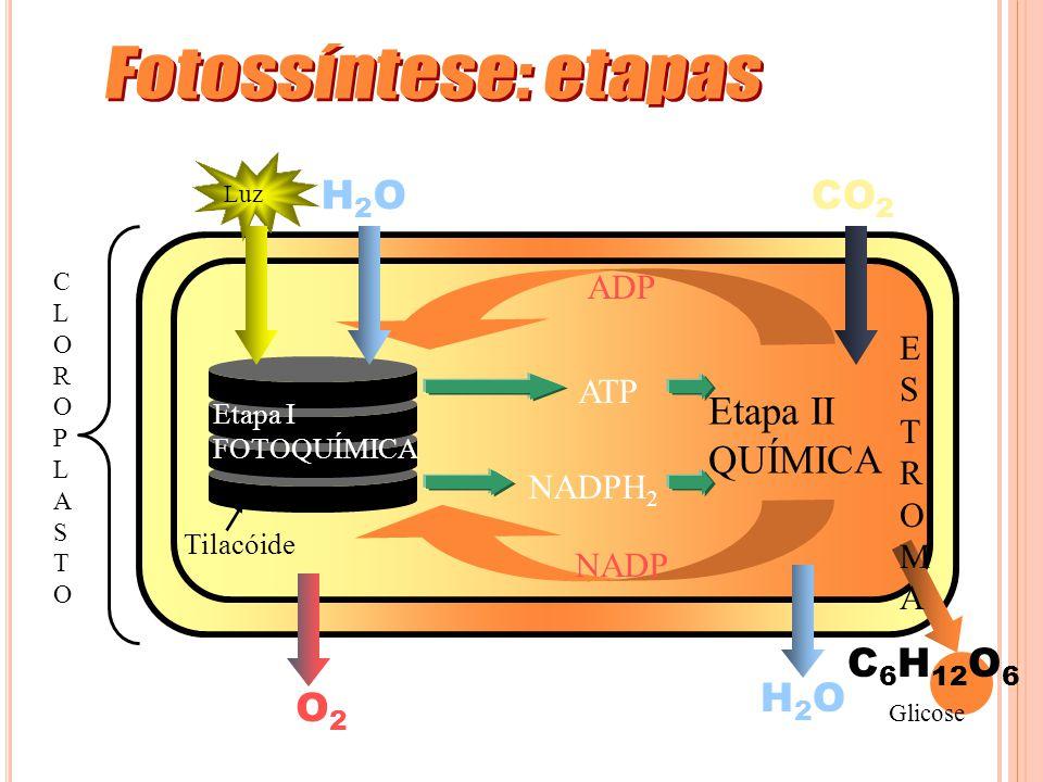 Fotossíntese: etapas H2O CO2 H2O C6H12O6 O2 Etapa II QUÍMICA ADP E S