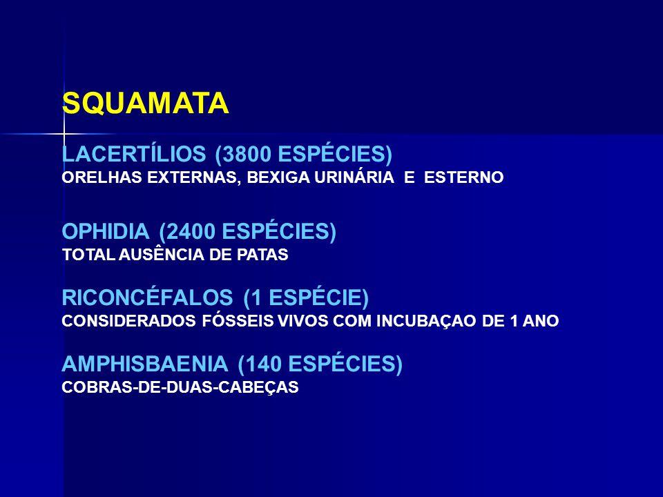 SQUAMATA LACERTÍLIOS (3800 ESPÉCIES) OPHIDIA (2400 ESPÉCIES)