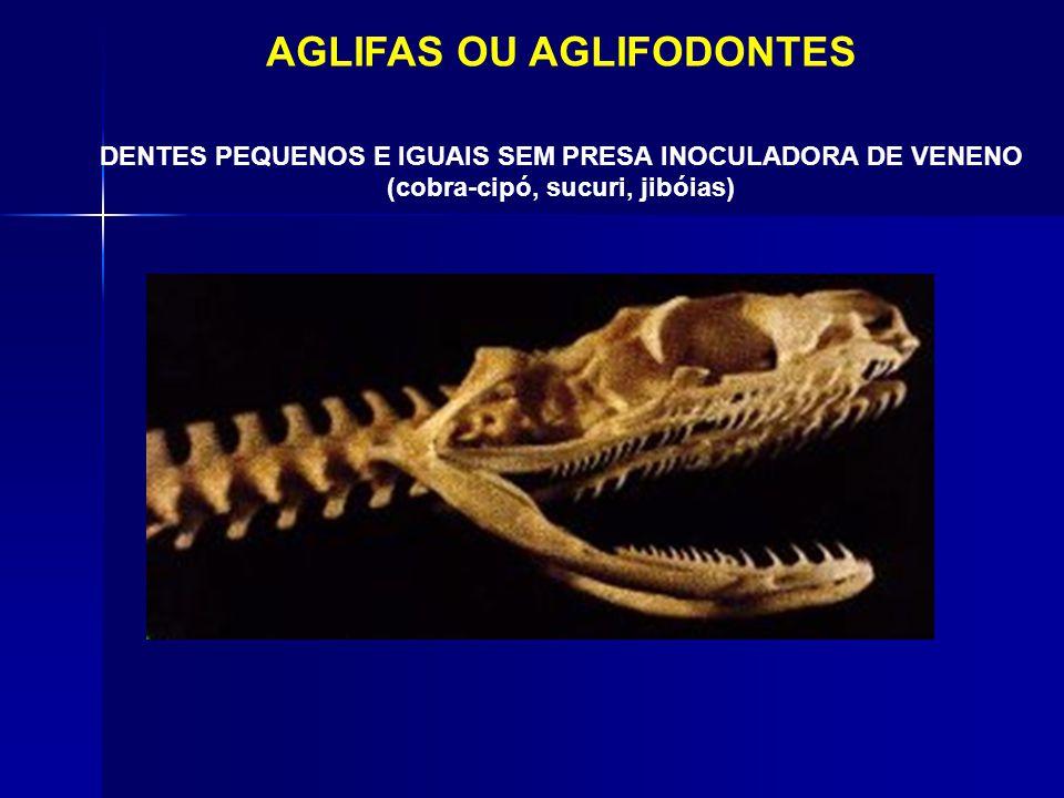 AGLIFAS OU AGLIFODONTES