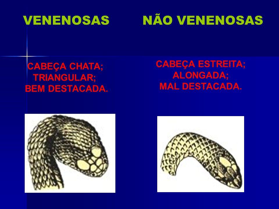 VENENOSAS NÃO VENENOSAS CABEÇA ESTREITA; CABEÇA CHATA; ALONGADA;