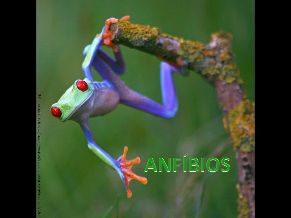 http://i.telegraph.co.uk/multimedia/archive/01891/cool-frog_1891806i.jpg ANFÍBIOS