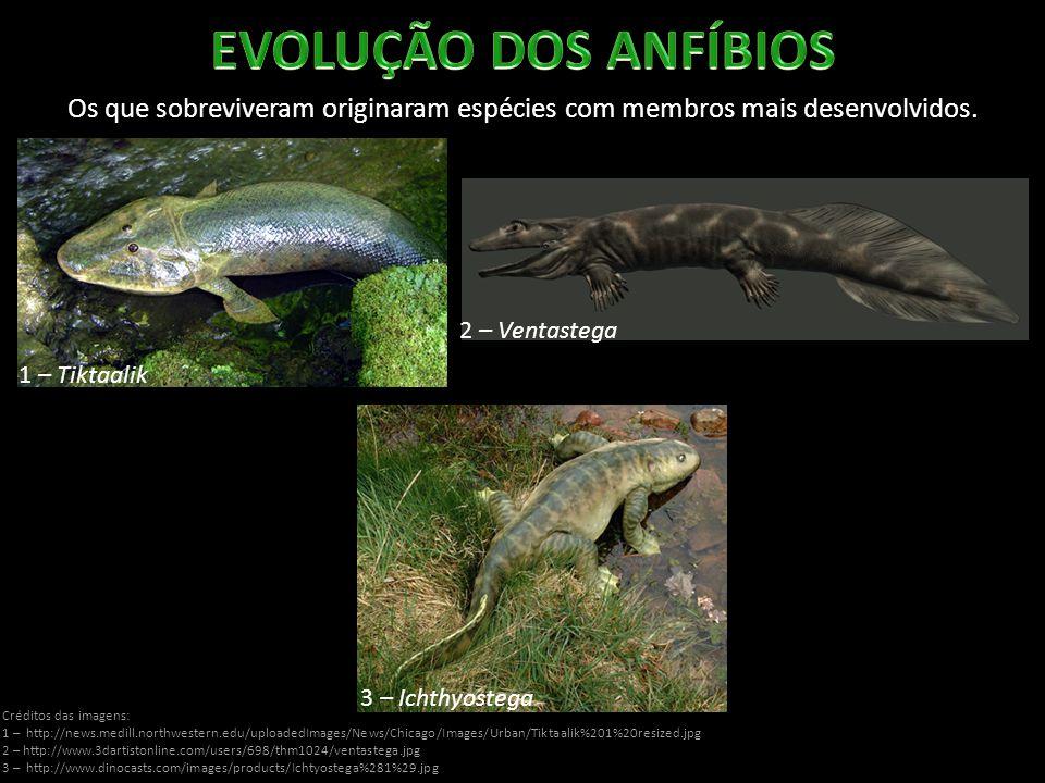 EVOLUÇÃO DOS ANFÍBIOS Os que sobreviveram originaram espécies com membros mais desenvolvidos. 2 – Ventastega.