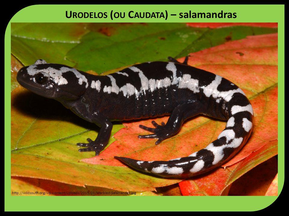 Urodelos (ou Caudata) – salamandras