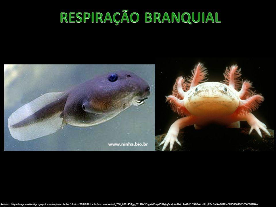 RESPIRAÇÃO BRANQUIAL