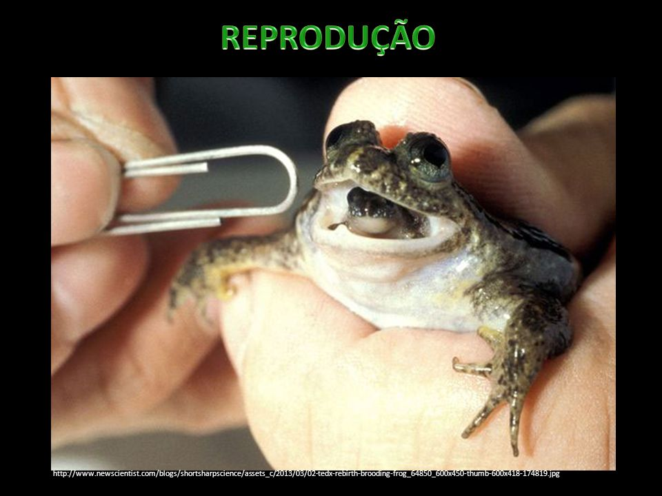 REPRODUÇÃO http://www.newscientist.com/blogs/shortsharpscience/assets_c/2013/03/02-tedx-rebirth-brooding-frog_64850_600x450-thumb-600x418-174819.jpg.