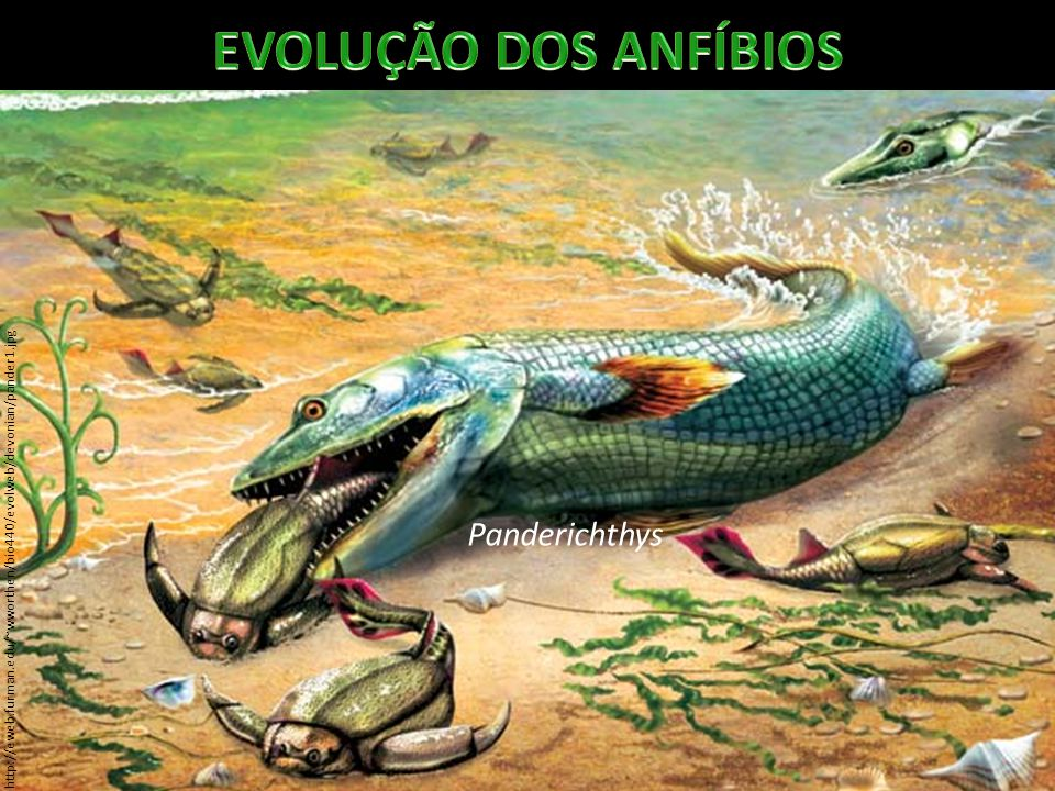 EVOLUÇÃO DOS ANFÍBIOS Panderichthys