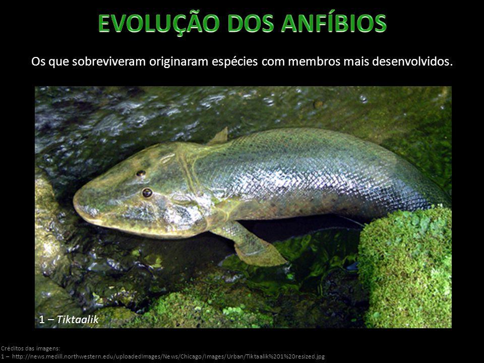 EVOLUÇÃO DOS ANFÍBIOS Os que sobreviveram originaram espécies com membros mais desenvolvidos. 1 – Tiktaalik.