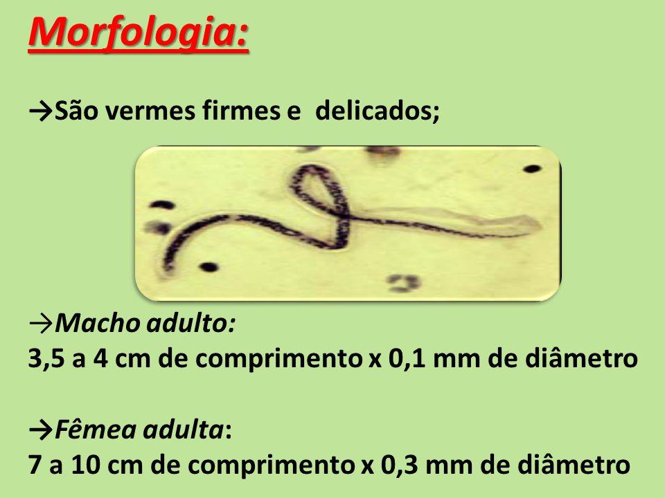Morfologia: →São vermes firmes e delicados; →Macho adulto: