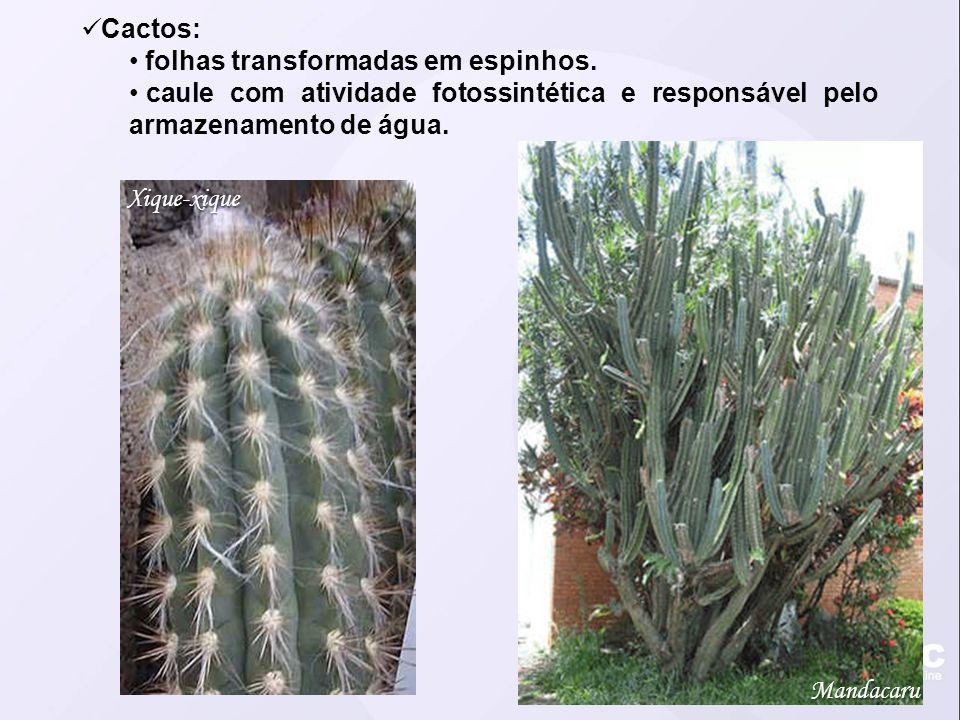 Cactos: folhas transformadas em espinhos. caule com atividade fotossintética e responsável pelo armazenamento de água.