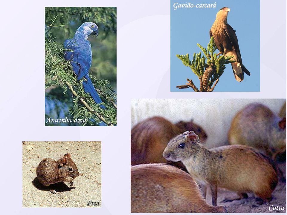 Gavião-carcará Ararinha-azul Preá Cotia