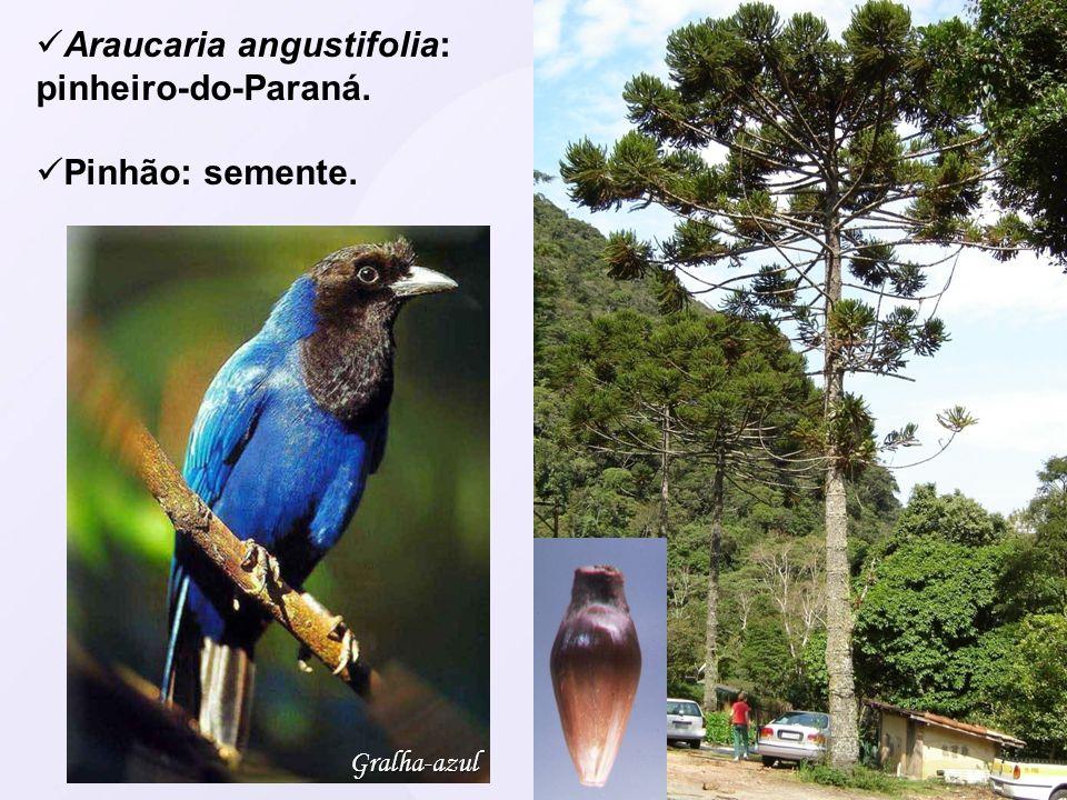 Araucaria angustifolia: pinheiro-do-Paraná.