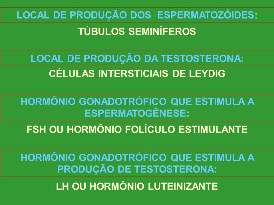 LOCAL DE PRODUÇÃO DOS ESPERMATOZÓIDES: