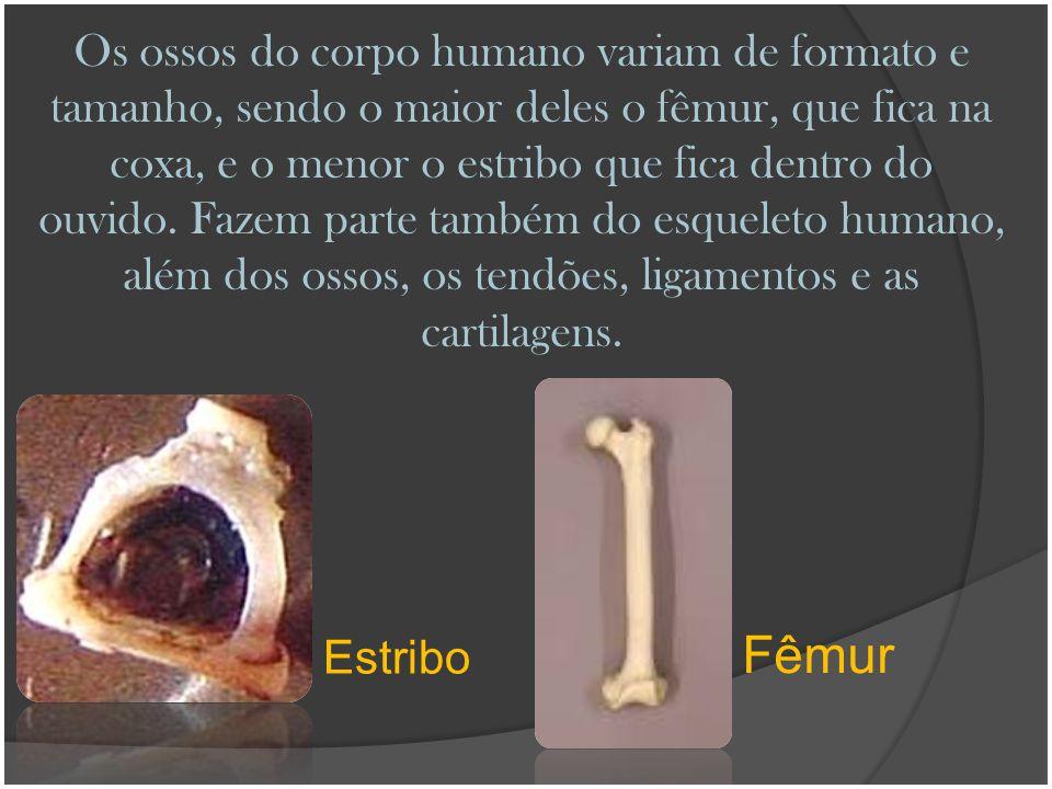 Os ossos do corpo humano variam de formato e tamanho, sendo o maior deles o fêmur, que fica na coxa, e o menor o estribo que fica dentro do ouvido. Fazem parte também do esqueleto humano, além dos ossos, os tendões, ligamentos e as cartilagens.