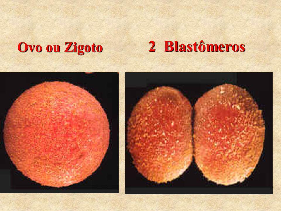2 Blastômeros Ovo ou Zigoto