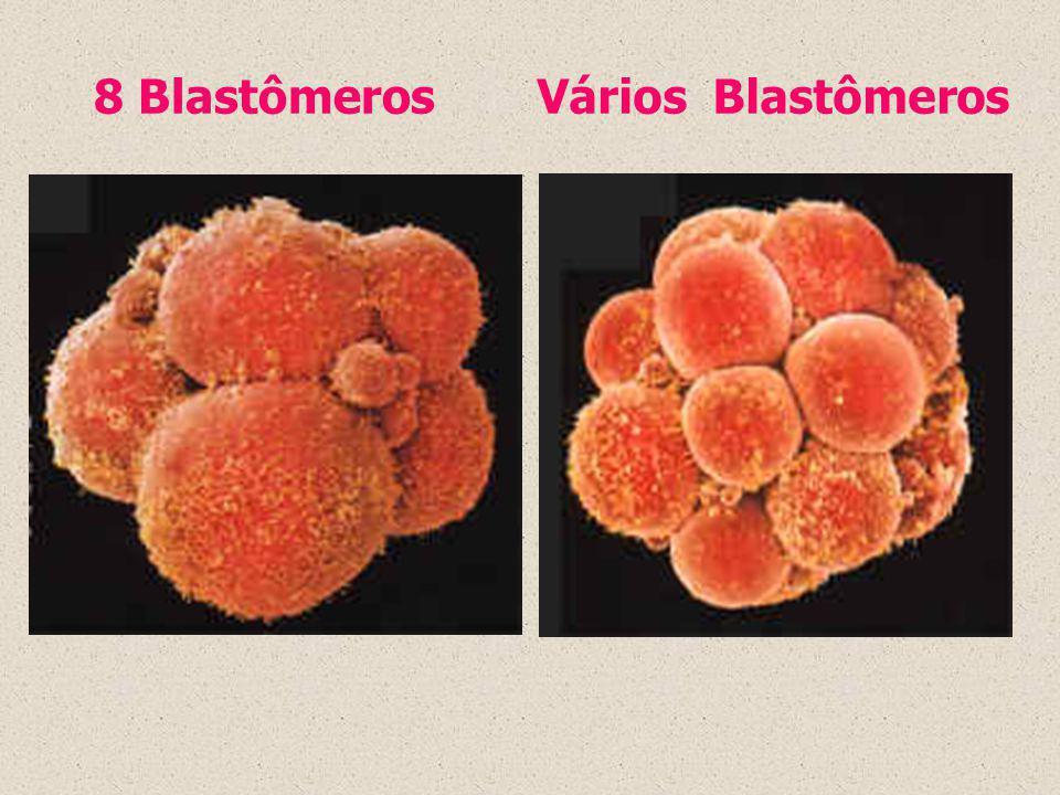 8 Blastômeros Vários Blastômeros