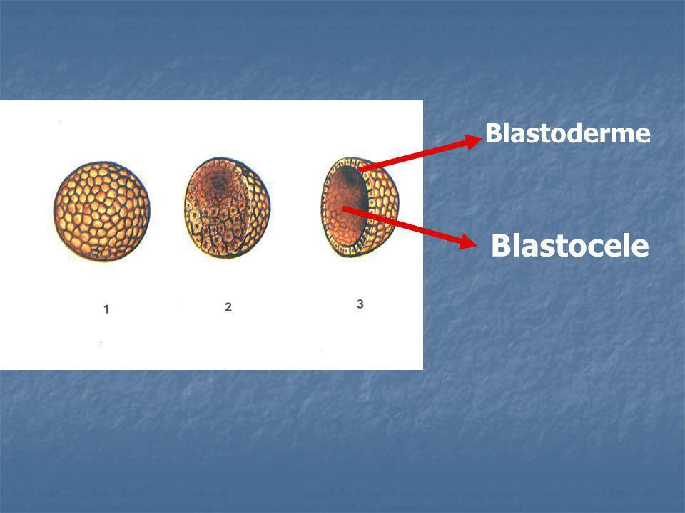 Blastoderme Blastocele