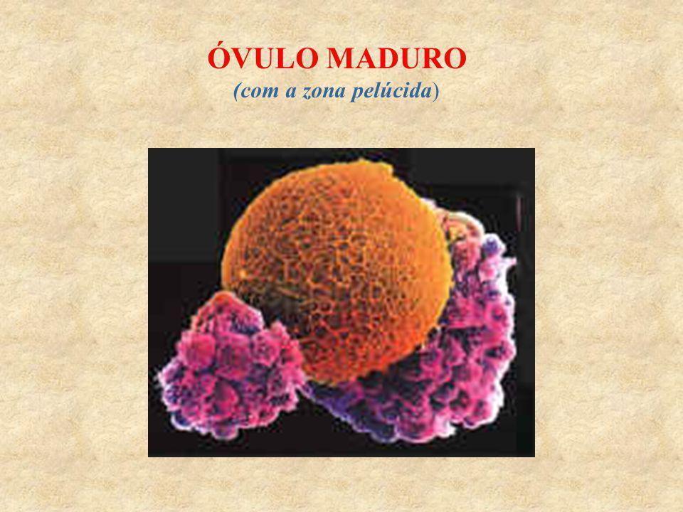 ÓVULO MADURO (com a zona pelúcida)