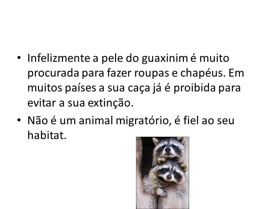 Infelizmente a pele do guaxinim é muito procurada para fazer roupas e chapéus. Em muitos países a sua caça já é proibida para evitar a sua extinção.